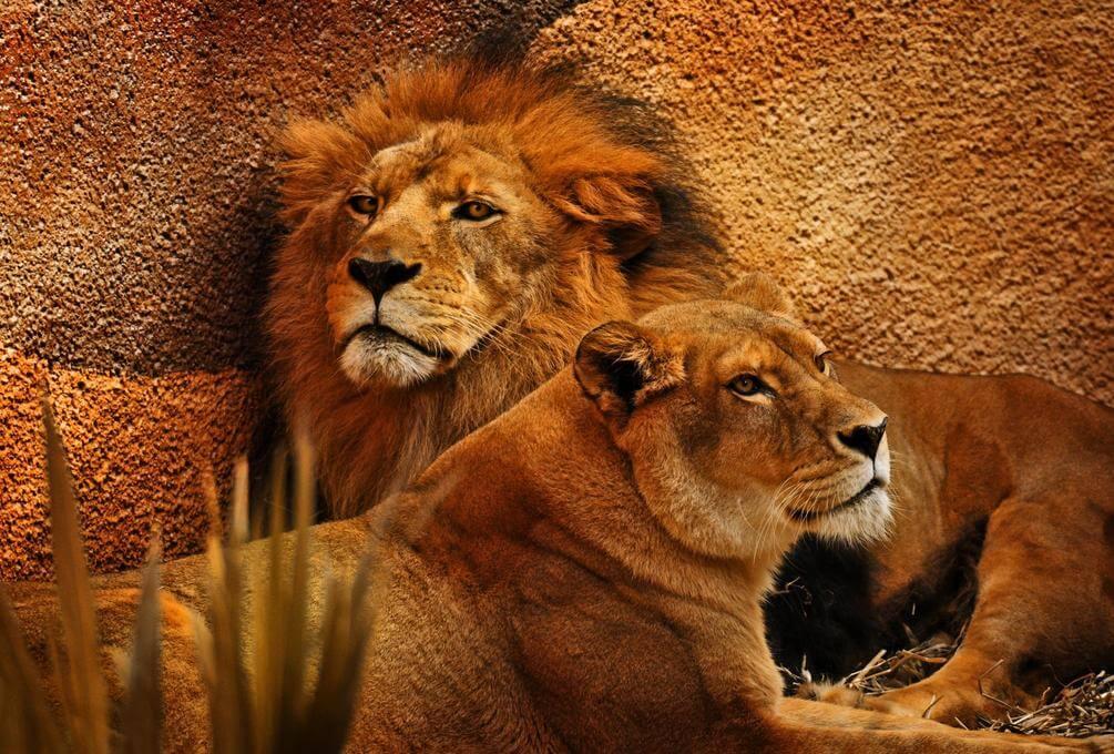 картины со львами фото овсяная