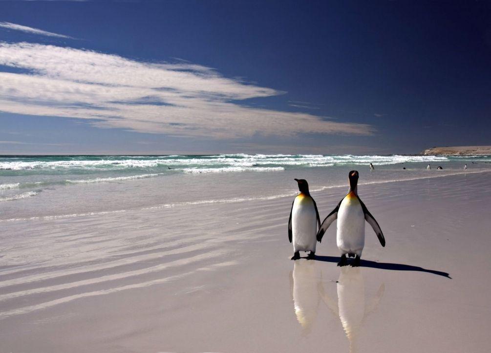Фото два пингвина идут в