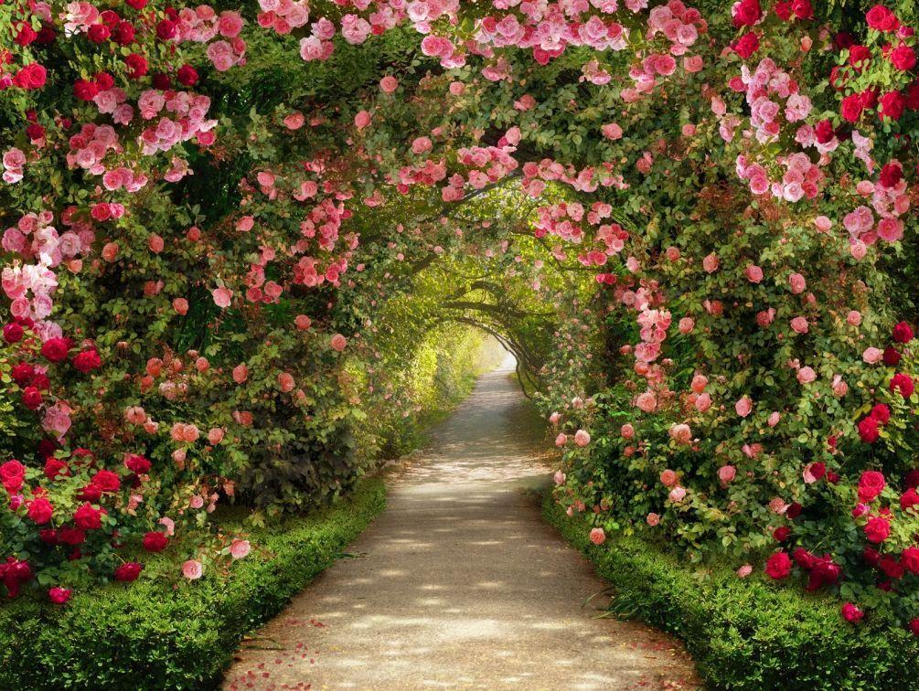 фотообои сад из красных роз самые забавные кадры