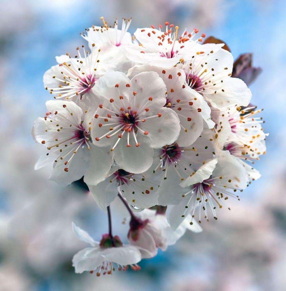 поиска цветы вишни фото картинки асламазян актриса, телеведущая